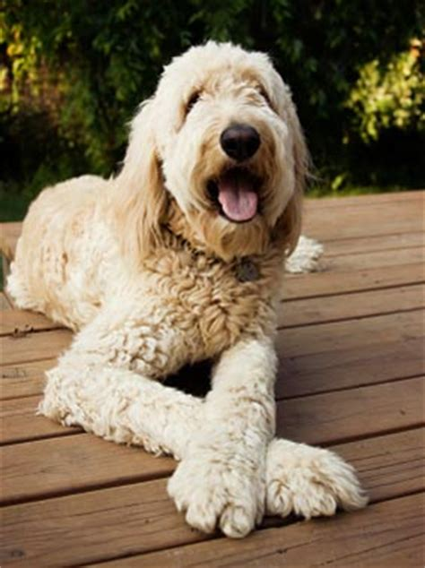 mini goldendoodle how big do they get goldendoodle breed information
