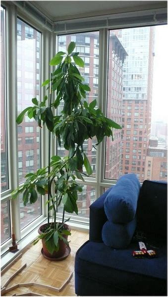 indoor living room plants 7 fruit trees that you can grow in your living room home decor trends
