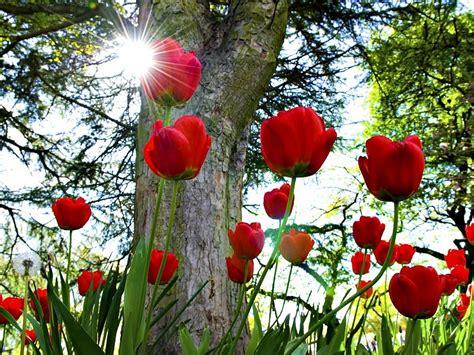 imagenes para fondo de pantalla de tulipanes tulipanes rojos hd fondo de pantalla fondos de pantalla gratis