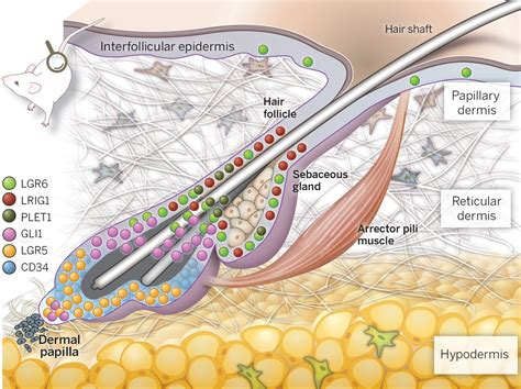 mammalian skin diagram mammalian skin cell biology at the interface between