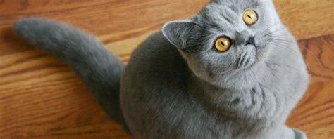 gato pelo corto te descubrimos todo la raza de gato brit 225 nico de pelo