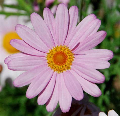 imagenes de flores margaritas fotos de flores 2 margarita rosa margaritas y