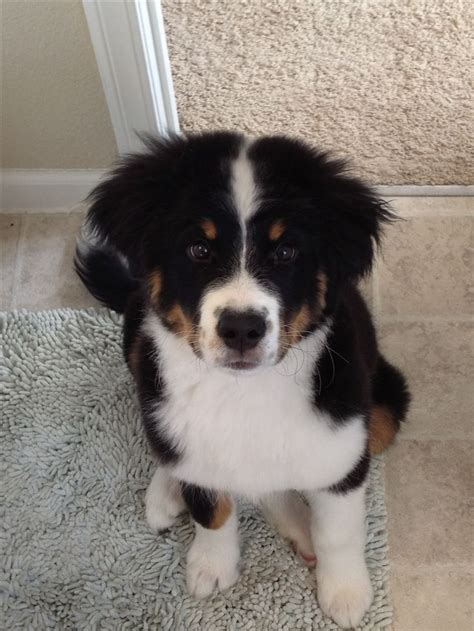 great pyrenees bernese mountain mix great bordernese great pyrenees border collie and bernese mountain mix my