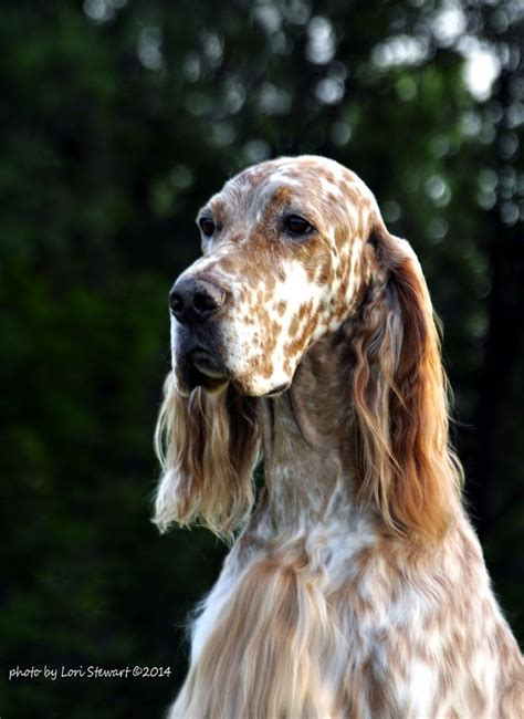 english setter therapy dog 256 best images about setters on pinterest english