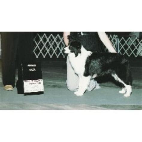 border collie puppies missouri solachi border collies border collie breeder in columbia missouri