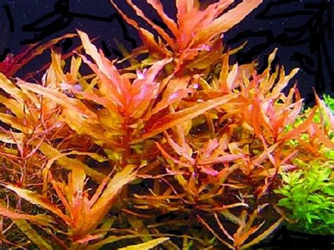Harga Pupuk Dasar Aquascape 2017 jual tanaman background aquascape stem plant oktober 2017