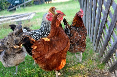 Keeping Backyard Chickens How To Keep Different Poultry Types Living Together In One Coop Backyard Chickens Community