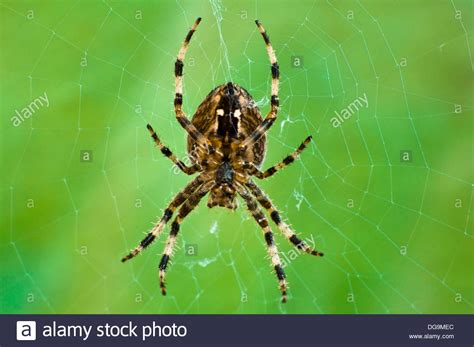 Garden Orb Spider by A Up Macro Photograph Of A Common Garden Orb Spider