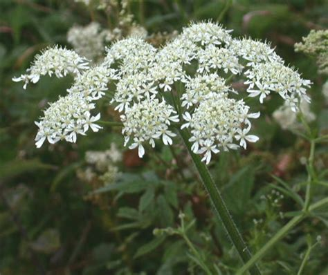 List Of Flowers by Heracleum Sphondylium