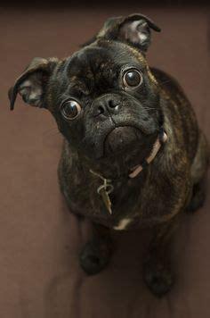 lifespan of a boston terrier pug mix bugg puppy pug and boston terrier mix animals bugg puppies