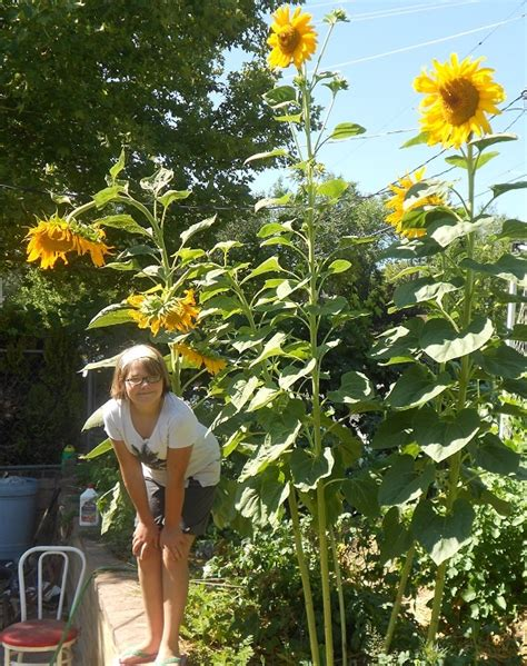 growing sunflowers from seed countryside network
