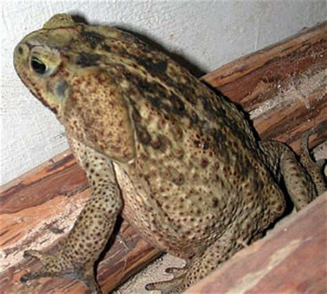 are toads poisonous to dogs poisonous toads in fl keep an eye on your dogs wetcanvas