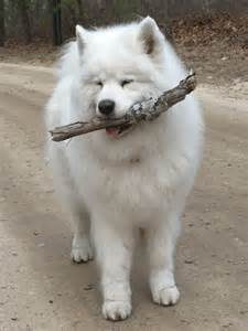 Miniature siberian samoyed puppies dog breeds picture