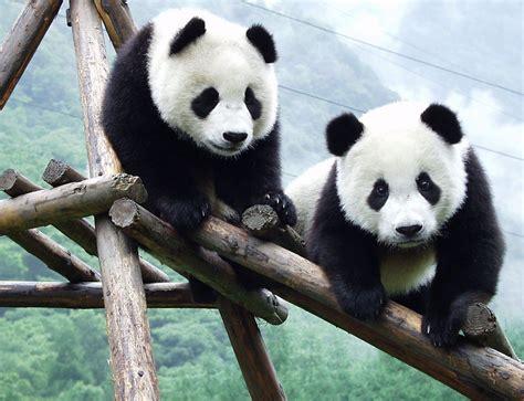 panda china acoy pandamond panda
