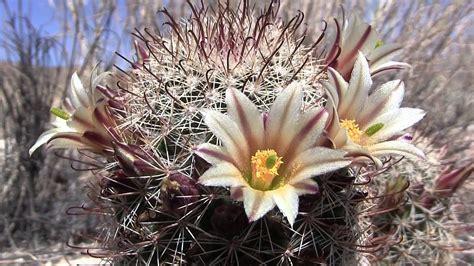 jenis tanaman kaktus berdasarkan golongan  familinya