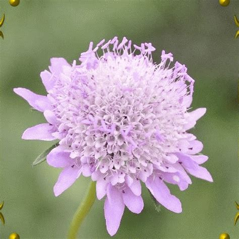 Bibit Benih Seeds Pinchushion Flower Mix Scabiosa Atropurpurea scabiosa atropurpurea pincushion flower mix wildflower seeds