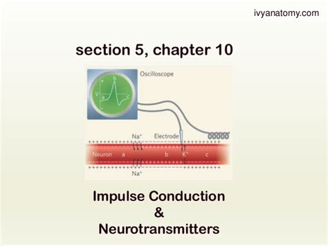 what is a section 5 section 5 chapter 10 nerve impulse conduction