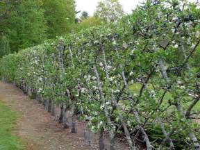 belgian fence an espalier style for fruiting trees 11 types of apple trees make a 100foot
