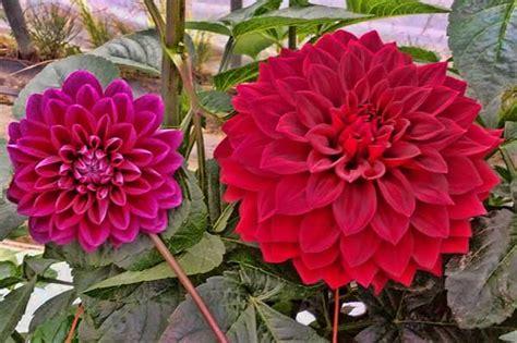 Tanaman Dahlia nama tanaman hias dan gambarnya belajar berkebun