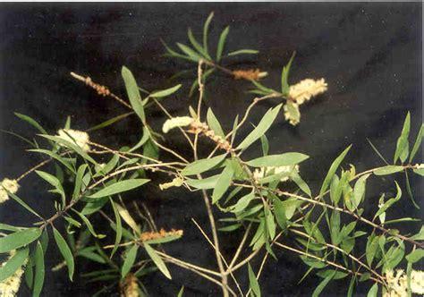 Minyak Kayu Putih Tea Tree kayu putih informasi herbal