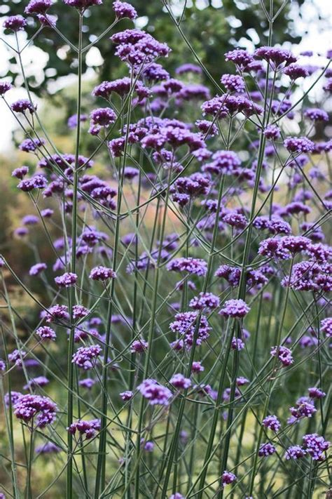 sun l for plants verbena bonariensis herbaceous perennial plant in full