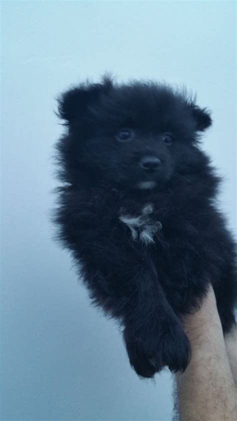 pomeranian puppies for sale in manchester beautiful pomeranian puppies for sale manchester greater manchester pets4homes