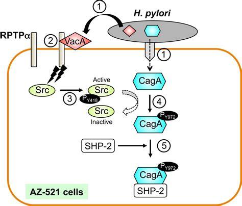 protein h pylori helicobacter pylori vaca acting through receptor protein