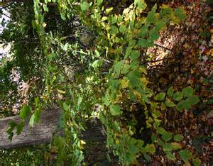 medicinal plants witch hazel