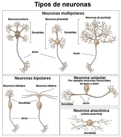 imagenes sensoriales de forma y tamaño 191 c 243 mo funciona el cerebro