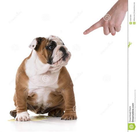 old dog urinates in house peeing puppy stock image image of cute brown mess