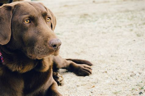 animal puppy animal brown labrador pet 183 free photo