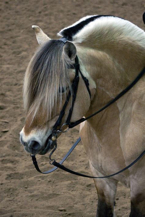 fjord mane norwegian fjord horse love the roached mane horses