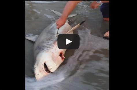 baby shark explained hombre ayuda a mam 225 tibur 243 n sin vida a dar a luz a tres