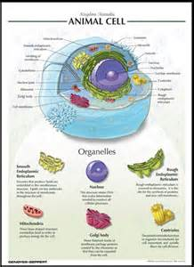 Animal cell centriole function