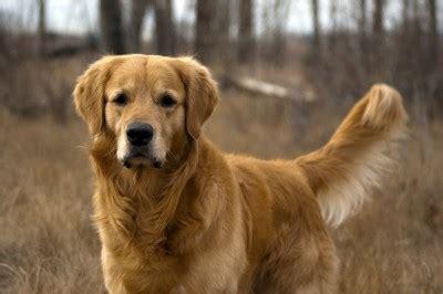 becky golden retrievers golden retriever raza de perros golden retriever