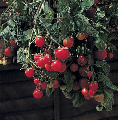 Benih Tomat Garden Pearl Paketan buy cherry tomato garden pearl tomato gartenperle delivery by crocus