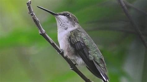 bird notes  active time   year  hummingbirds