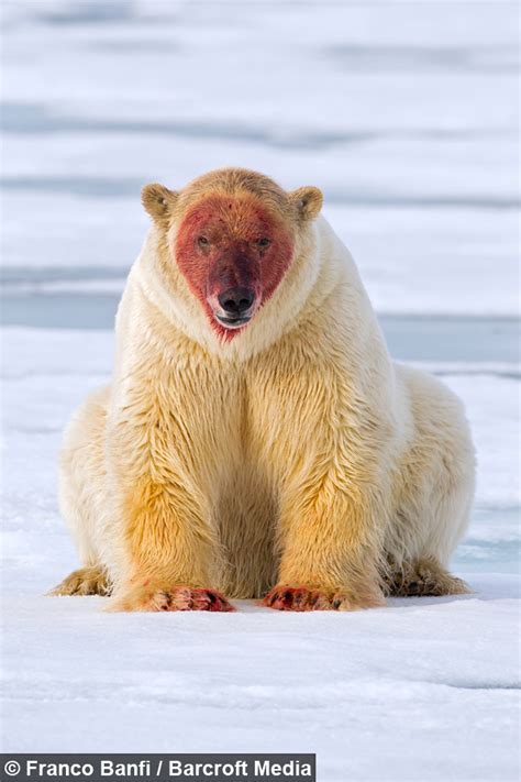 polar skin color polarbears skin