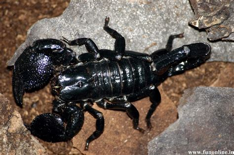 black scorpion hd wallpapers hd wallpapers blog