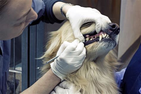 cleaning dogs teeth portsmouth pet dental care cat teeth cleaning