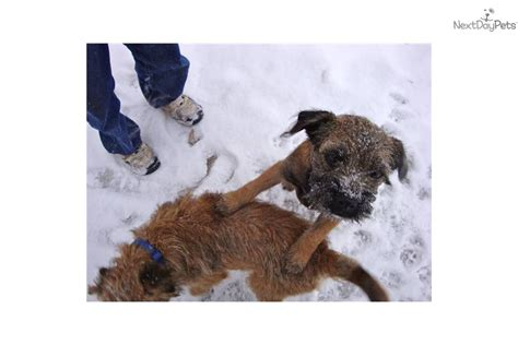 border terrier puppies for sale near me www homegrownborderterriers border terrier puppy for sale near kansas city