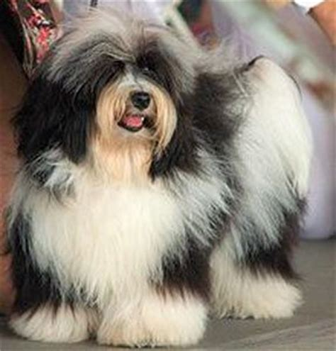 havanese grooming pictures 17 best ideas about havanese grooming on dogs puppies and dogs