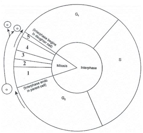 cell cycle diagram worksheet bio 111 inquiry active