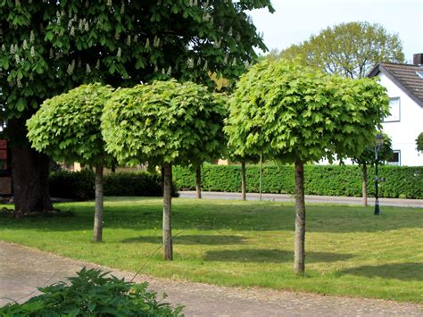alberello da giardino kugelahorn kugelbaum globosum acer platanoides