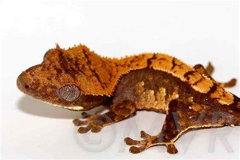 crested gecko colors the gallery for gt purple crested gecko