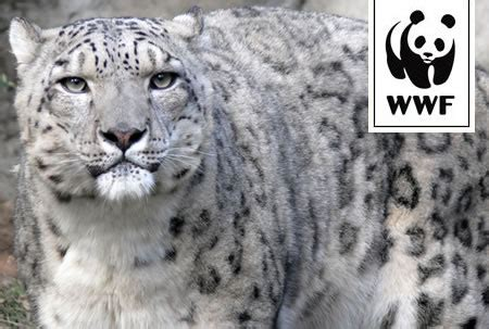 saving the snow leopards big cat rescue wwf adopt a big cat from just 163 3 00 a month