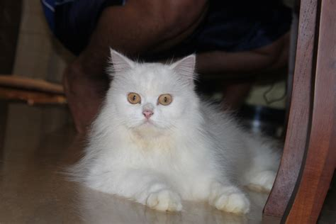 Kucing Anggora Sarafi Keywordsfind