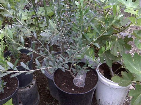 Jual Bibit Pohon Zaitun Di Jogja jual pohon buah zaitun tin dan zaitun