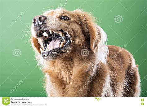 golden retriever growling aggressive barking stock image image of security 78765575
