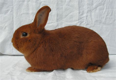 variety of breeds rabbit breeds a comprehensive list of 150 varieties
